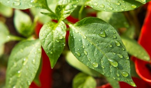 Dew Beads On Pepper Plant