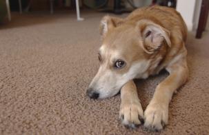 A Basenji Jack Russell Terrier mix