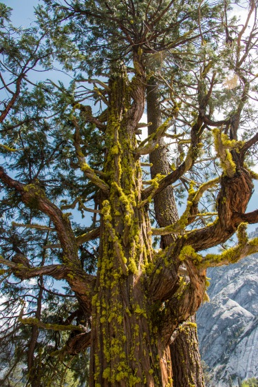 Tree with moss in King's Canyon